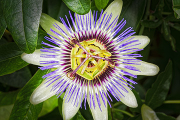 Passion Flower close up