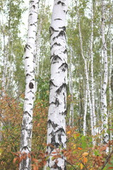 Fotobehang Beautiful birches in forest in early autumn