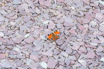 Peacock Butterfly on purple slate