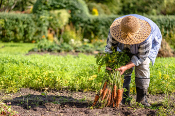 Farmer holding a carrots from the soil, vegetables from local farming, organic produce harvested from the garden, fall harvest Wall mural