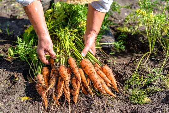 Farmer holding a carrots from the soil, vegetables from local farming, organic produce harvested from the garden, fall harvest