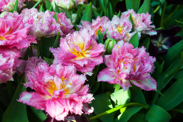 beautiful terry pink tulips