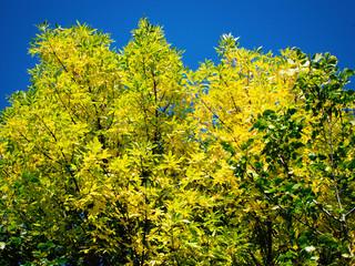 yellow tree crowns
