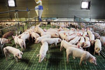 Little pigs household on rural animal farm