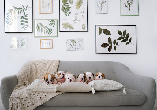 Group of little puppies of the English bulldogs lie on a big sofa in studio