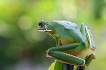 Tree frog, frogs, whitelips tree frog