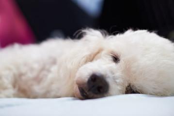 Close up of white fluffy dog