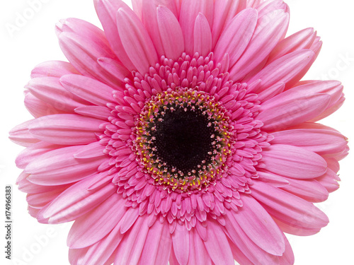 Single pink gerber flowers isolated on white background stock photo single pink gerber flowers isolated on white background mightylinksfo