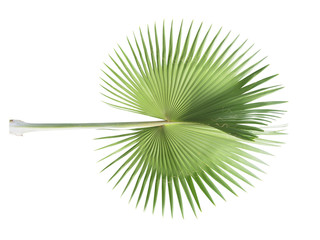 Palm leaf of tropical plant isolated on white