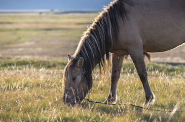 mongolian horse eating on a field