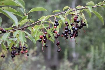 зрелые ягоды черемухи