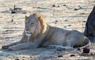 A beaten up old lion laying resting on the dry plains in Etosha