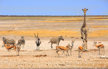 Wall Murals Giraffe Vibrant waterhole with giraffe, oryx, zebra and springbok in Etosha