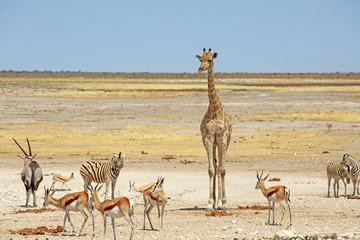 Busy waterhole with Giraffe, Zebra and springbok in Etosha