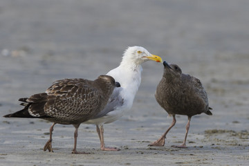 American herring gull or Smithsonian gull (Larus smithsonianus or Larus argentatus smithsonianus) adult feeding chicks with crab