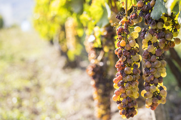 Noble rot of a wine grape, botrytised grapes Wall mural
