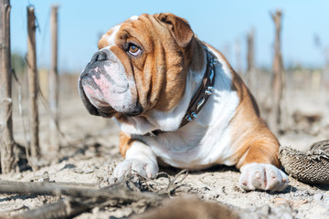 Big English bulldog portrait,selective focus