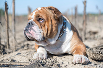 Close up portrait of young English bulldog,selective focus