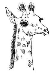 cute giraffe cub