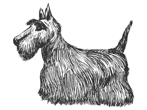 scottish terrier, side view