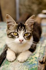 Filhote de gato branco cinza e preto com olhar encantador