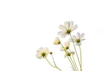 Soft focus of blooming white cosmos flower on white background