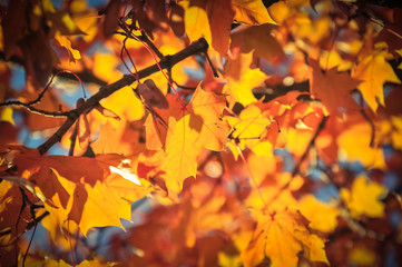 Vibrant color of red oak maple leaves during fall season in Seattle, Washington, USA. Natural backlit light, soft and selective focus with bokeh. Vintage tone.