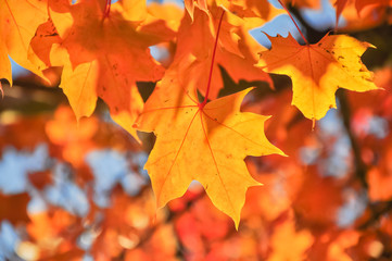 Vibrant color of red oak maple leaves during fall season in Seattle, Washington, USA. Natural backlit light, soft and selective focus with bokeh.