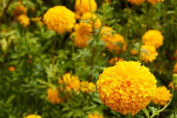 Beautiful Marigold flowers