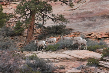 Rams on the Mountaintop