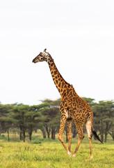Very high maasai giraffe. Tanzania, Africa