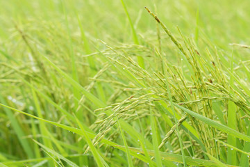rice growing field in Asian