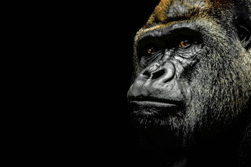 Portrait of a Gorilla