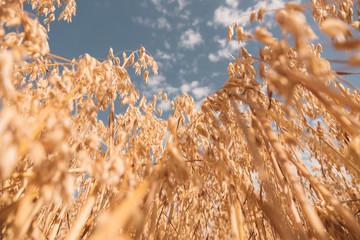 Golden colour wheat field against blue sky