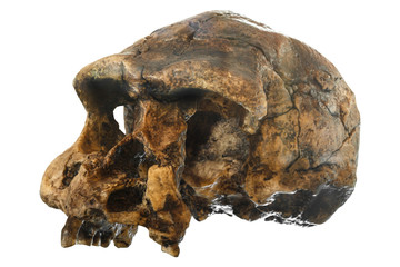 Homo erectus skull ( Oblique view ) . Discovered in 1969 in Sangiran , Java , Indonesia . Dated to 1 million years ago