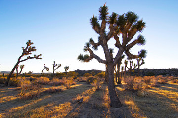 Joshua Tree Light