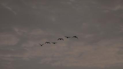 Zugvögel im Flug
