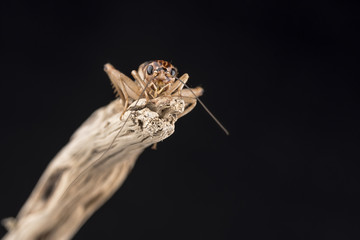 A house cricket perched on the end of a piece of wood, isolated against a black background. Room for copy.