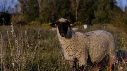 Schaf auf der Weide