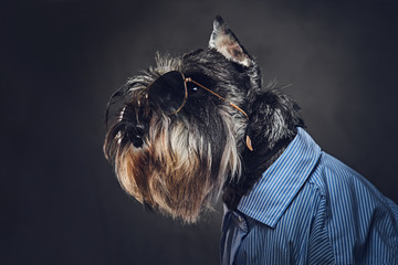 Fototapete - A dogs dressed in a blue shirt and sunglasses.