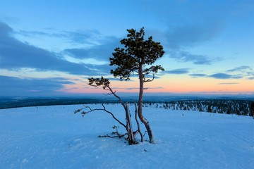 Lonely trees at sunrise sunset in winter snow Lapland, Finland