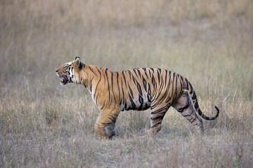Dominanter Tiger durchstreift sein Revier