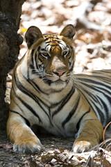 Photo sur Toile Tigre Tiger Portraet
