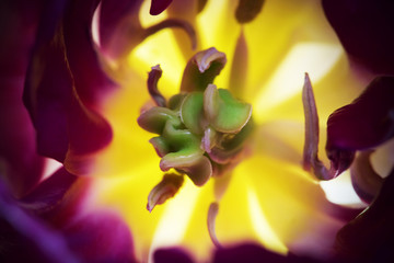 Printed roller blinds Tulip tulp