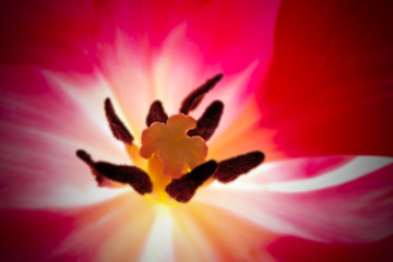 Foto auf Acrylglas Tulpen tulp