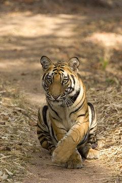 Tiger will sich auf den Fahrweg legen