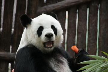 Female Panda Eats Carrot