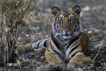 Junger Tiger liegt im Dschungel