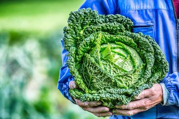 Senior farmer holding in hands fresh kale cabbage