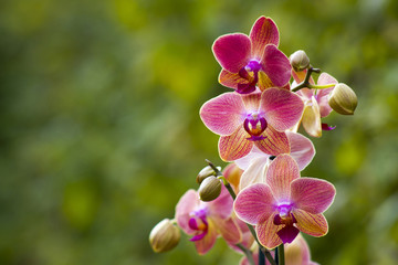 Beautiful pink orchid  - phalaenopsis